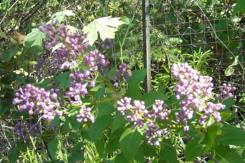 2013-05-05 lilac