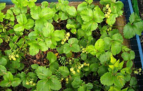 06-14 strawberries