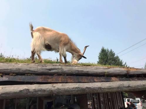 05 goats