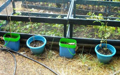 09-09 tomatoes