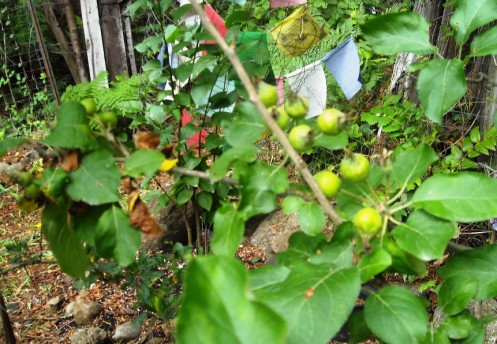 06-30 apples
