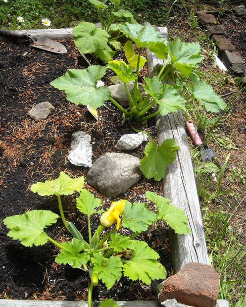 06-30 courgettes
