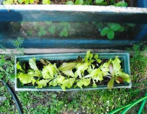 05-23 lettuce