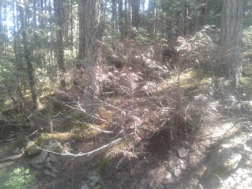 dead cedar